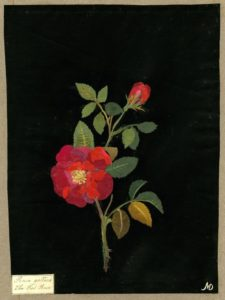 Rosa Gallica by Mary Delany